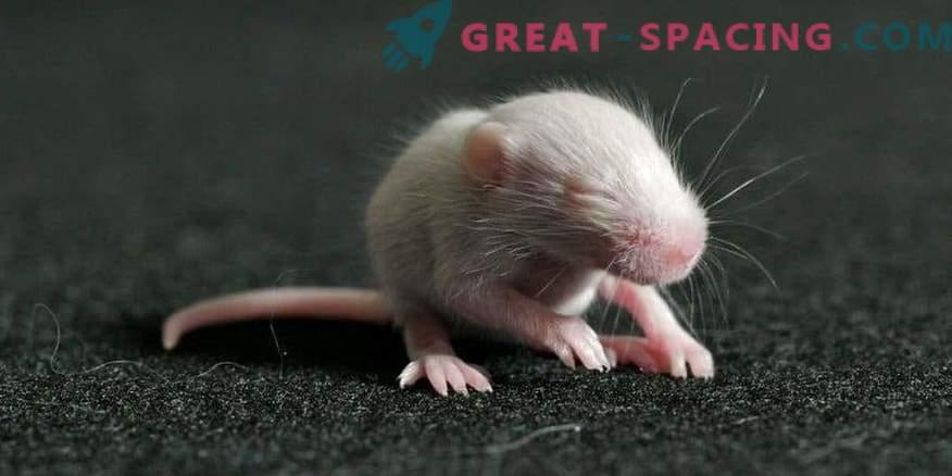 Miši so bile rojene iz sperme, ki je bila v vesolju 9 mesecev.
